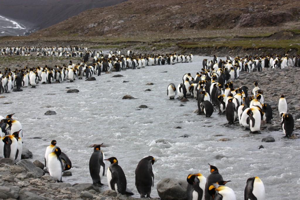 penguinriver2