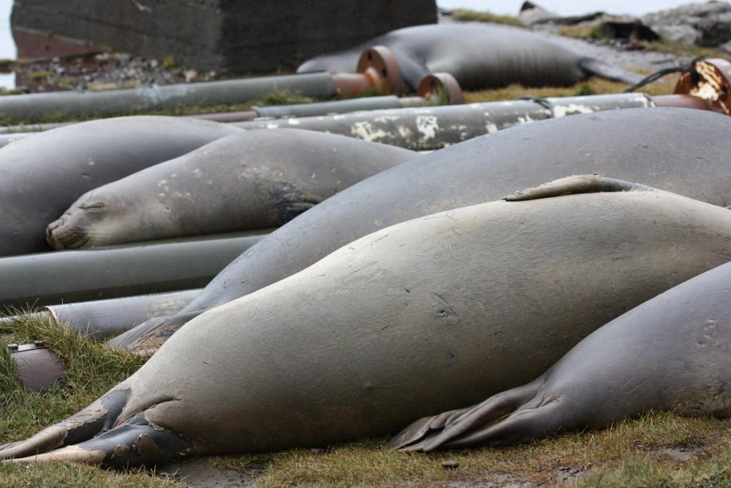 sealshaped