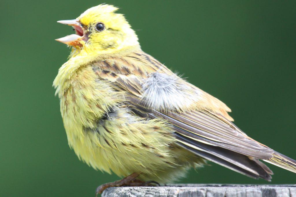 yellowhammersong